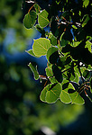 Bright sunlight backlights summer aspen leaves (Populus tremuloides), Rocky Mountains, CO