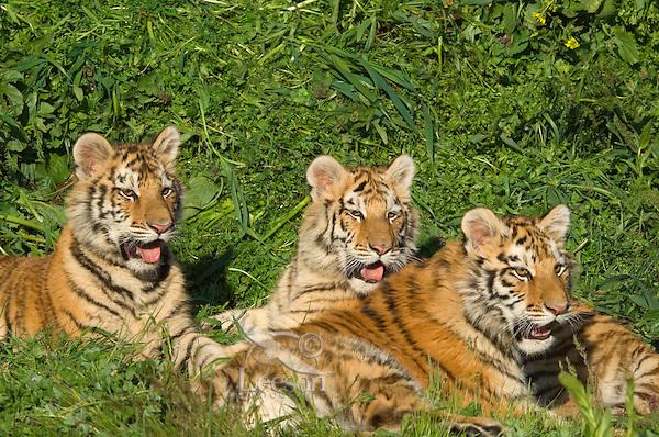 Siberian Tiger cubs (Panthera tigris altaica).