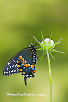 03009-01819 Black Swallowtail butterfly (Papilio polyxenes) male on Cosmos Sensation Mix bud, Marion Co., IL