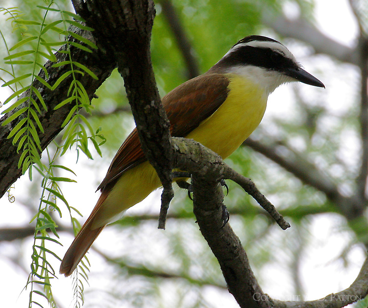 Adult great kiskadee in mesquite tree