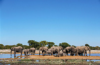 Elephants (Loxodonta africana) at a waterhole, Etosha National Park, Namibia, Africa