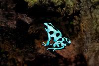 428150001c a captive green and black poison arrow frog dendrobates auratus perches on a plant leaf in its terrarium in the long beach aquarium