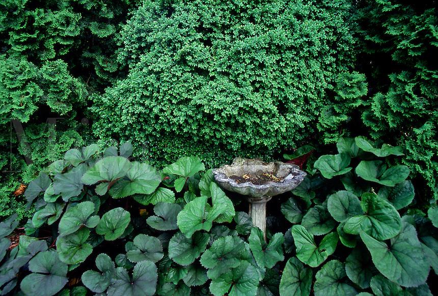 Birdbath, boxwood, bigleaf goldenray (Ligularia dentata) #5996. Virginia.