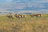Pronghorn Antelope (Antilocapra americana)--buck herding harem during fall rut.  Western U.S., fall..