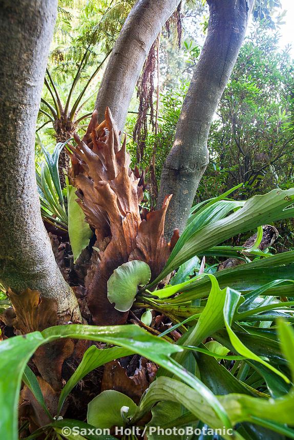 Platycerium bifurcatum Staghorn or Elkhorn Fern, San Francisco Botanical Garden