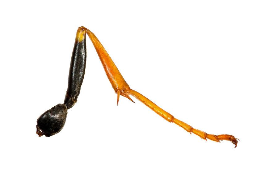 Insektenbein, Bein eines Insekt, Hüfte, Coxa,  Schenkelring, Trochanter, Schenkel, Femur, Schiene, Tibia, Fuß, Tarsus. Präparat