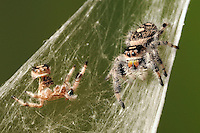 A regal jumping spider and its recently discarded exoskeleton