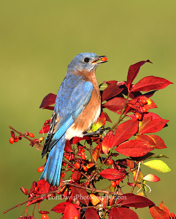 Male Bluebird with berry