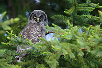 Fledgling Great Gray Owl (Strix nebulosa). Central Alberta, Canada. June.