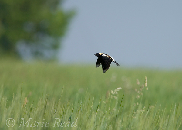 Bobolink (Dolichonyx oryzivorus) male in display flight over a summer meadow, New York, USA