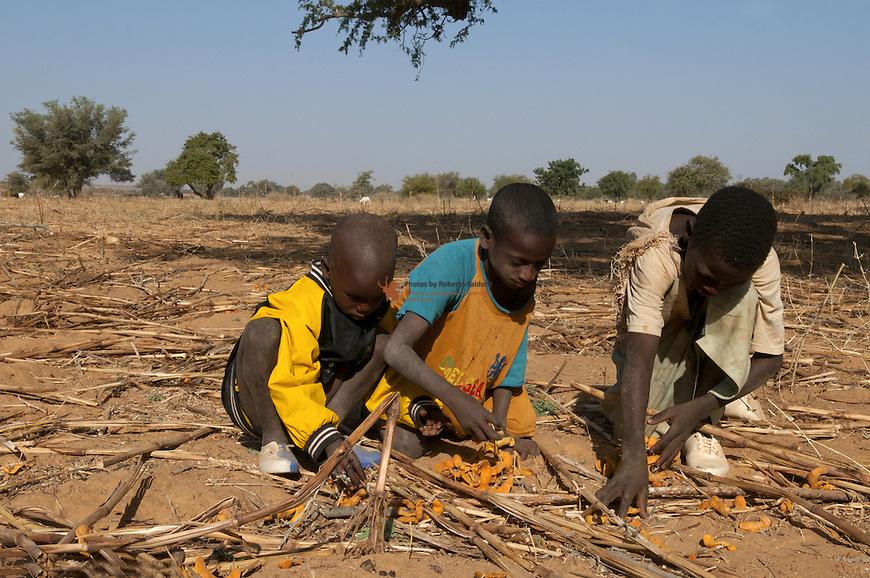 Children picking pods of Acacia albida for fodder