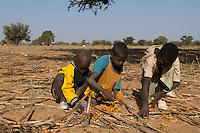Children picking pods of Acacia albida for fodder