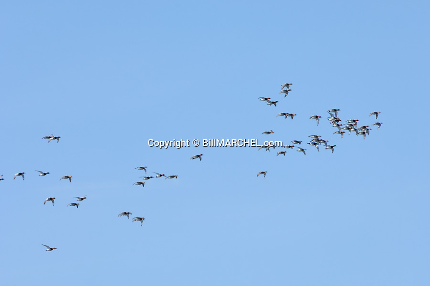 00290-006.08 Canvasback Duck flock in flight against a blue sky.  Hunt, waterfowl, bull, action, fly, diver, wetland, lake, river.  H1R1