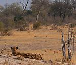 Cheetah watching impalas, Okavango Delta, Botswana