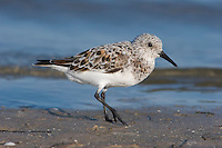 Sanderling Calidris alba - Adult intermediate stage growing into breeding plumage. L 20cm. Small, robust wader. Seen in flocks running at speed along edges of breaking waves on sandy beaches. Has white wingbar and black legs and bill. Sexes are similar. Adult in winter has grey upperparts and white underparts. In summer (sometimes seen in late spring or early autumn) plumage is flushed with red on head and neck and has dark-centred feathers on back; underparts are white. Juvenile is similar to winter adult but many back feathers have dark centres. Voice Utters a sharp plit call. Status Locally common non-breeding visitor, mainly to sandy beaches; occasional on shingle or mudflats.