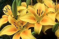 Lilium ëPollyannaí (Asiatic Lily) yellow with orange center, slight spots.GR7496 lilies