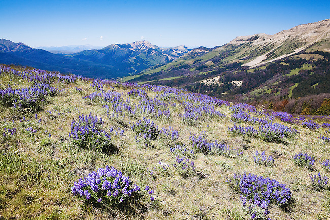 Lupine wildflowers growing on the open slopes high in the Snowcrest Mountains of Montana