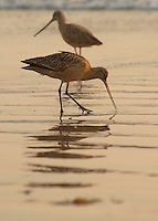 Marbled Godwits feed in Coronado, California.
