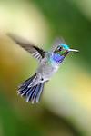 Amazalia Pechiazul / colibríes de Panamá.<br /> <br /> Blue-chested Hummingbird / hummingbirds of Panama.<br /> <br /> Amazalia amabilis.<br /> <br /> EDICIÓN LIMITADA / LIMITED EDITION (25)