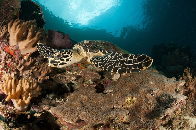 Close up view of a Hawksbill turtle on a reef in Raja Ampat, West Papua, Indonesia