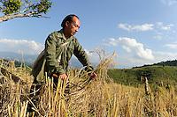 Asien LAOS Provinz Oudomxay , Ethnie Khmu , auf den Bergen wird Brandrodung fuer Subsistenzlandwirtschaft betrieben, Anbau von Hochland Reissorten , die Ertraege sind sehr gering 1-2 Tonnen pro Hektar , Bauer erntet Reis | .Asia LAOS province Oudomxay , village Laksaosong, ethnic group Khmu, rice farming in mountains, farmer harvest paddy