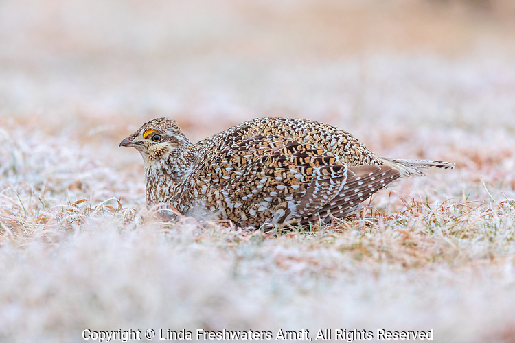 Sharp-tailed grouse resting on a lek after a spring snow shower.