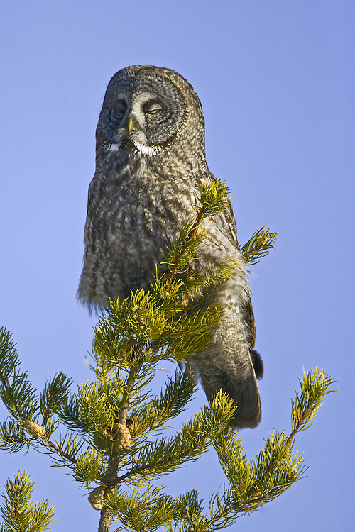 Sleepy Great Grey Owl roosting in a pine tree