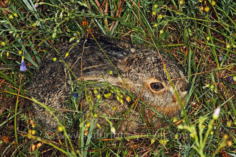 Feldhase, Feld-Hase, Hase, Jungtier im zeitigen Frühjahr, Tierbaby, Tierbabies, Tierbabys, Lepus europaeus, hare, hares