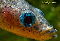 1S14-798z   Male Threespine Stickleback, Mating colors showing bright red belly and blue eyes, close-up of face, Gasterosteus aculeatus,  Hotel Lake British Columbia.