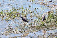 Pied Heron, Fogg Dam, NT, Australia