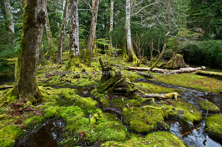 4/13/2011--Bainbridge Island, WA..The Moss Garden at the Bloedel Reserve on Bainbridge Island near Seattle. With a long damp spring and mild summer in 2010, moss in the Pacific Northwest has become more abundant than ever...©2011 Stuart Isett. All rights reserved.