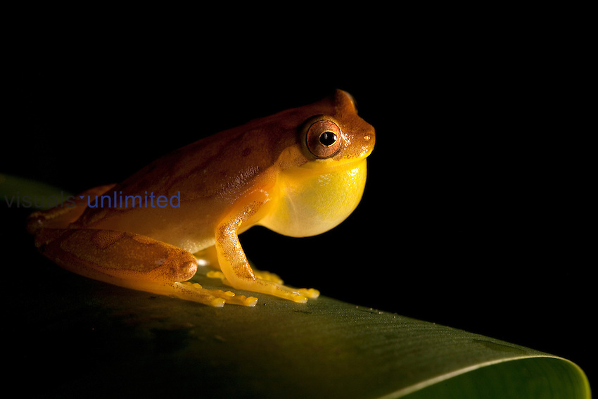Hourglass Tree Frog vocalizing (Hyla ebreccata), Costa Rica