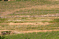 The unusual terraced vineyard with stone walls Chateau de Pressac St Etienne de Lisse Saint Emilion Bordeaux Gironde Aquitaine France