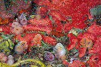 Christmas tree worms, or serpulid tube worms, Spirobranchus giganteus, & encrusting sponges, St. Vincent, Saint Vincent & the Grenadines (Eastern Caribbean Sea)