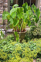 Wow plant: Colocasia Elephant's Ears (easy summer bulb) in large container pot garden, Alchemilla mollis lady's mantle perennial flowers in bloom, stone house and window, small space, big impact, using monochromatic green and gold color theme