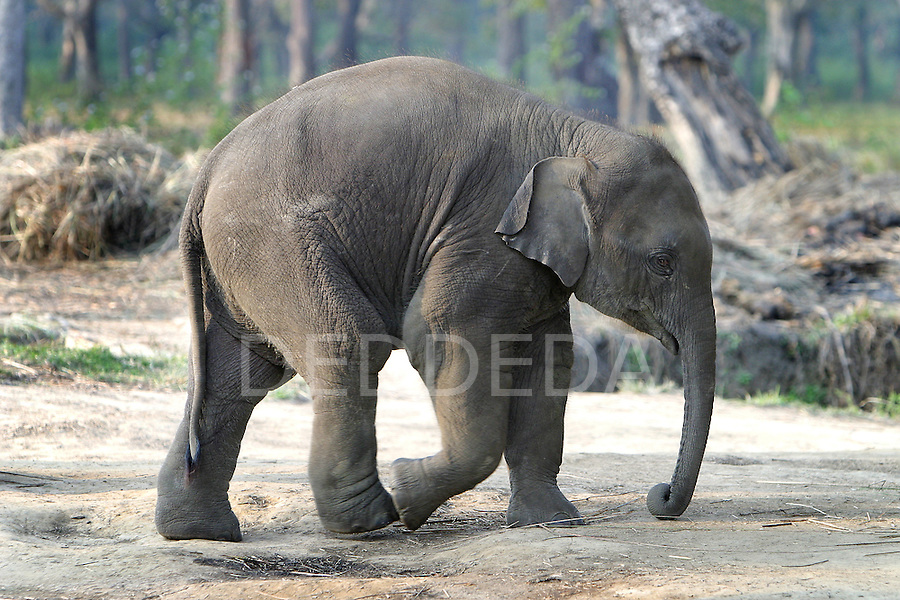 A baby elephant walks though the Elephant Breeding Centre near Chitwan National Park and the village of Sauraha, Nepal.