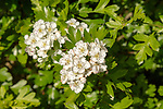 Close up of white flowers hawthorn blossom,  Crataegus bush, Suffolk, England, UK