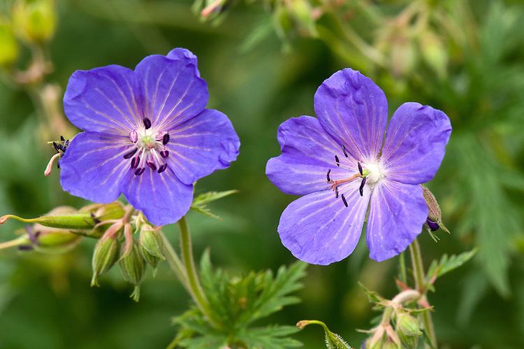 Geranium wlassovianum, mid June.