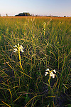 Western Prairie Fringed Orchid (Platanthera praeclara), The Nature Conservancy preserve, Minnesota