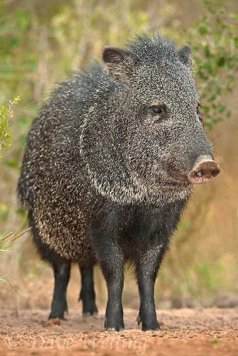 650520159 a wild javelina or collared peccary dicolytes tajacu on beto gutierrez ranch hidalgo county texas united states