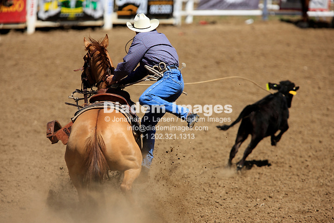 BELLE FOURCHE, SOUTH DAKOTA - JULY 4:  Tie-down roping competition at the 90th annual Black Hills Roundup rodeo in Belle Fourche, South Dakota July 4, 2009.  Editorial use only.  Commercial use prohibited.  (Photograph by Jonathan Paul Larsen)