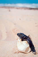 Kemp's ridley sea turtle hatchling, Lepidochelys kempii ( endangered ), in egg shell ( removed from nest which failed to hatch ), Rancho Nuevo, Mexico, Gulf of Mexico, Atlantic Ocean