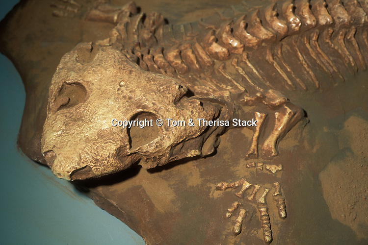 Fossil Seymouria, Permian, Texas