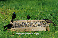 01626-005.02  Common Grackles (Quiscalus quiscula) on ground tray feeder  Marion Co. IL