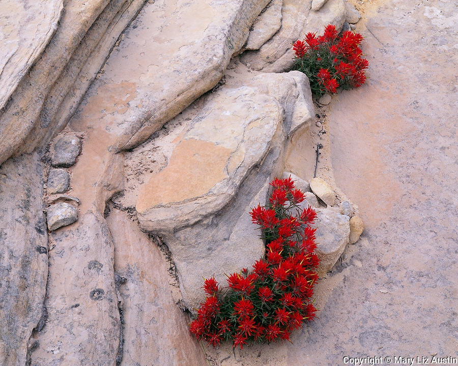 Zion National Park, UT<br /> Slickrock Paintbrush (Castilleja scabrida) growing in the crevices of Navajo Sandstone in Clear Creek Canyon