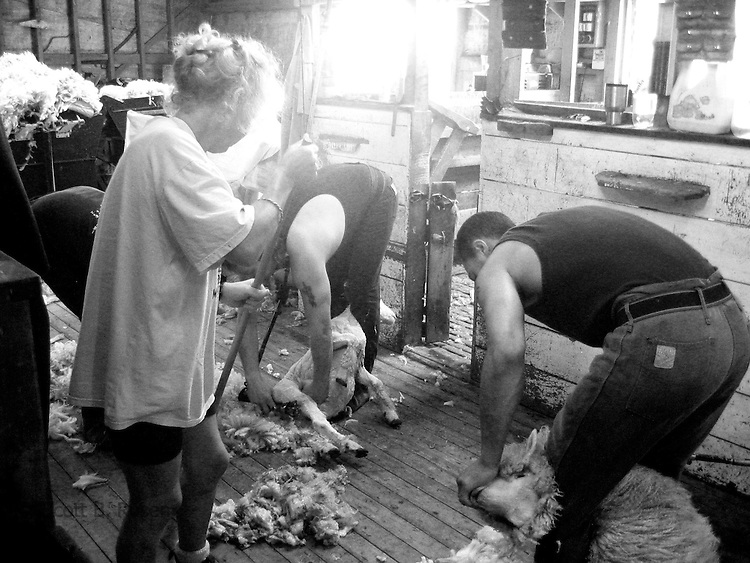 Sheep Shearing on a farm iin the South Island of New Zealand