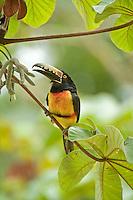 Collared Aracari, Chan Chich, Belize