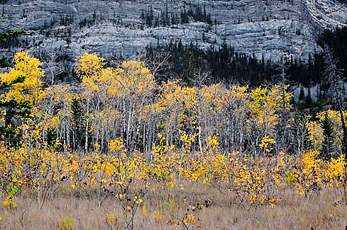 Aspens near Abraham Mountain, Alberta - Canada