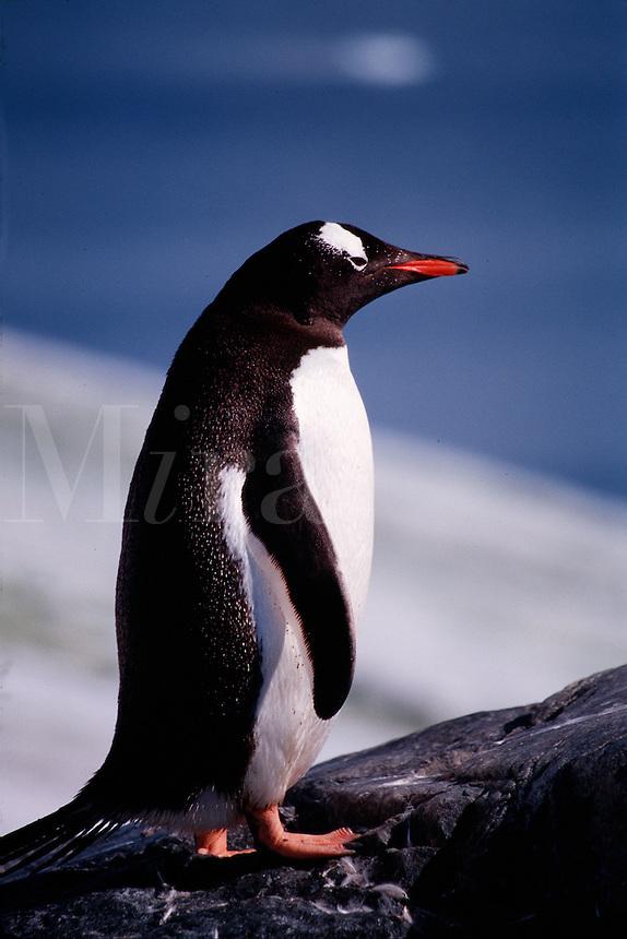 Close up profile of a Gentoo penguin. Antarctic Peninsula, Antarctica.