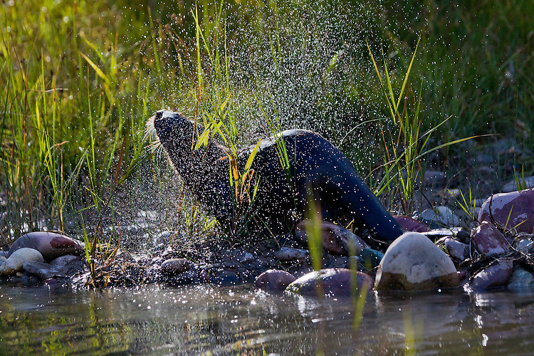 Backlit River Otter shaking water off of its fur - CA